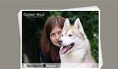 Golden Nicol siberian huskies